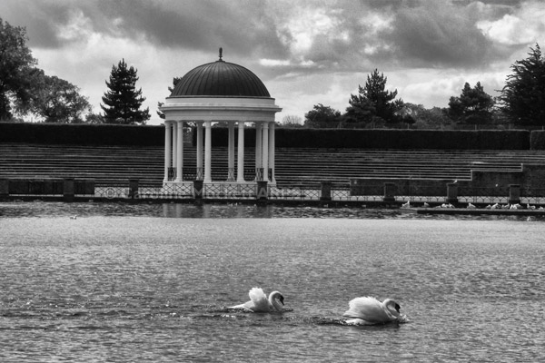 Swans A' Swimming