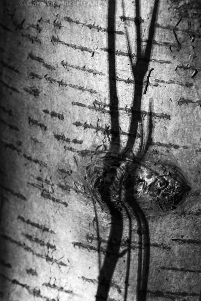 The Birch Eye