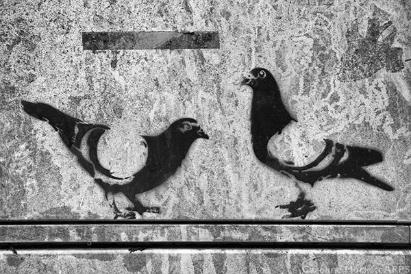 Pigeon-Fancier