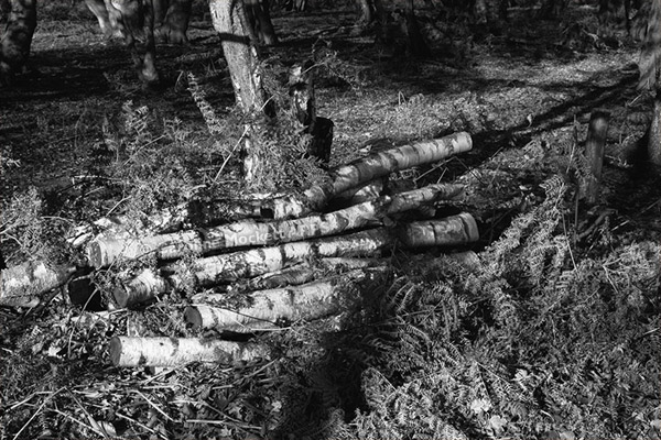 Birch Logs In A Clearing