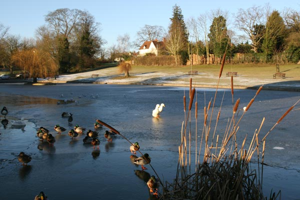 Confused Ducks, Great Dunmow