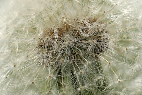 Dandelion Clock closeup