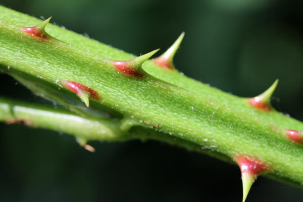 A Thorny Issue