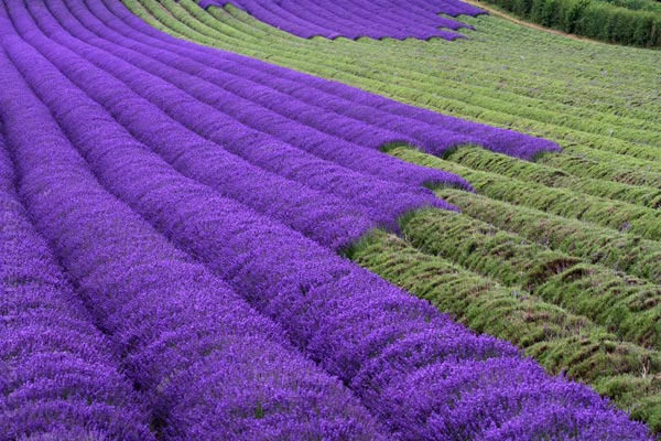 Stripes of Lavender