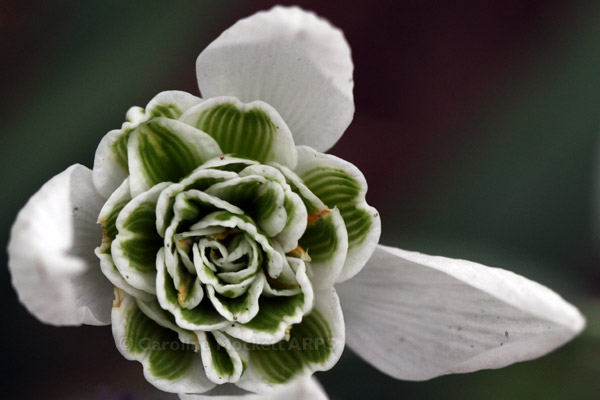 Little Snowdrop Detail