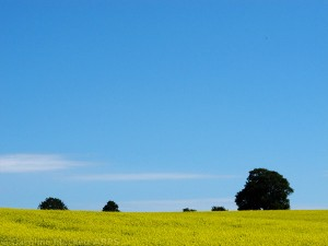 Yellow Field With Trees