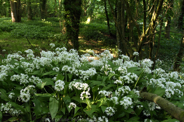 Blooming Wild Garlic