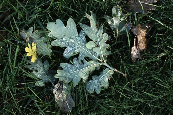 Oak Leaf Droplets