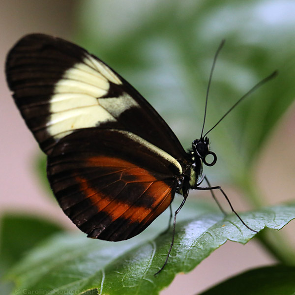 Heliconius Species