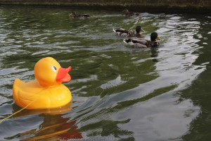 Shifty Meets The Ducks