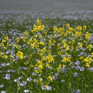 Flax and Oilseed Rape
