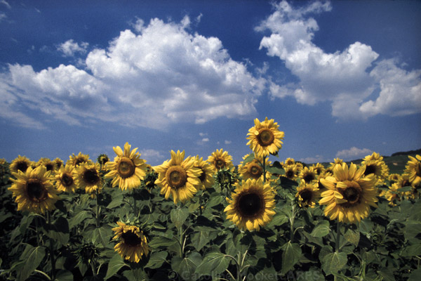 Sunflower Superior
